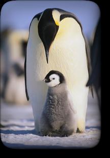 子育てをする皇帝ペンギン