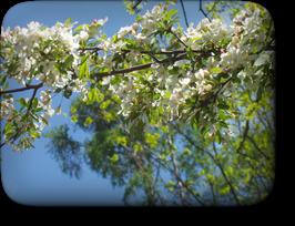 小梨(こなし)の花