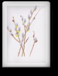 ネコヤナギ 植物細密画